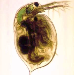 Daphnia magna is one of the four species for which nickel BLMs were developed.*