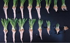 Barley roots exposed to nickel in two types of soil show different responses due to differences in soil chemistry