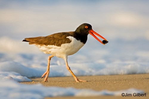 The oystercatcher feeds on a bivalve.