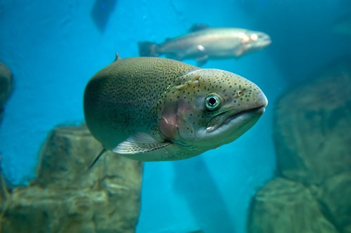 Fish are one of the ten taxonomic groups represented in the nickel freshwater database.